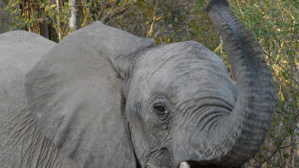 Elephant trumpt